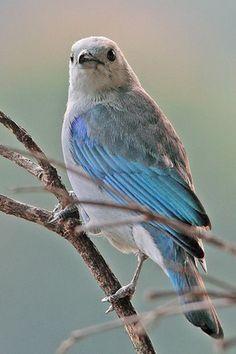 Blue-gray Tanager                                                                                                                                                      Mais