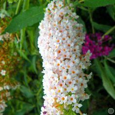 Vlinderstruik (Buddleja davidii) Wit - 1 heester kopen veilig online bestellen