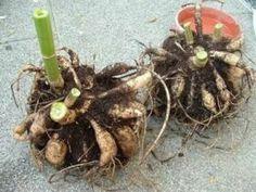 Сохраняем клубни георгины на время зимы