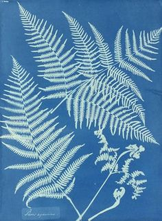 Pteris aquilina by Anna Atkins Considered to have been the first female photographer. Born in Kent in 1799 Made her most significant contribution across 10 years in the century in which she created at least images by hand. Atkins, Sun Prints, Fine Art Prints, Canvas Prints, Anna, Google Art Project, Craft Images, Cyanotype, Museum Of Fine Arts
