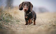 Scarica sfondi cani, simpatici animali, bassotto, erba verde, brown bassotto