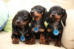 can we leave.. I am hungry.. nice family of doxies striking a pose before dinner