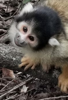 Squirrel monkey in African Haven Squirrel, Monkey, African, Photography, Animals, Squirrels, Jumpsuit, Photograph, Animaux
