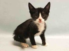 ***TO BE DESTROYED 10/04/16*** JESSE IS A 7 WEEK OLD KITTEN WHO HAS A RECTAL PROLAPSE AND NEEDS A FOSTER ASAP OR THE ACC WILL KILL HER TOMORROW AFTERNOON!! JESSE was brought into the shelter with diarrhea and a swollen hind end - which turned out to be a rectal prolapse. She will need some medical attention by a competent vet to correct this issue but it is certainly not life threatening nor any reason to kill her. This cutie pie was found by someone who said she was friendly and she…