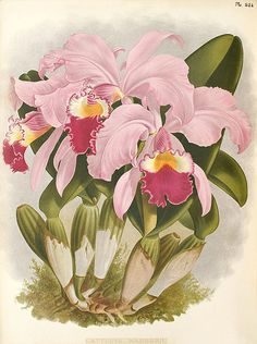Illustrations by John Nugent Fitch from The Orchid Album