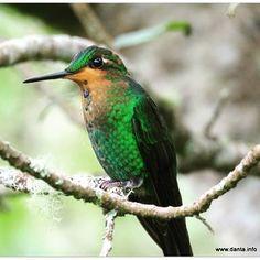 Can anyone identify this species of #hummingbird ? #birdsofinstagram #bird #lovely #colorful #costarica #tropical #bestbirdshots #ud_birds #wildlifephotography #allmightybirds #wings_in_light #id #DANTA