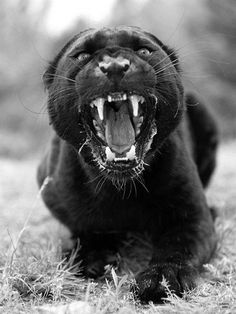gorgeous Panther anger, whose photographer?