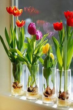 Indoor Tulips . . . Step 1 - Fill a glass container about 1/3 of the way with glass marbles or decorative rocks... Step 2 - Set the tulip bulb on top of the marbles or stones; pointed end UP. Add a few more marbles or rocks so that the tulip bulb is surrounded but not covered (think support). . .Step 3 - Pour fresh water into the container. The water shouldn't touch the bulb, but it should be very close, so that the roots will grow in and voila tulips inside!