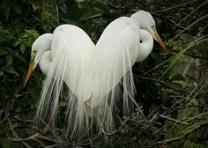 Egrets 'A show of love' by JPG Photos