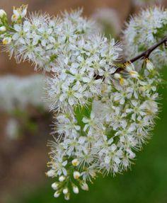 Prunus maackii Amber Beauty flower