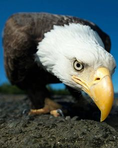 . STARE DOWN. Photography by © (Phuong Nguyen). Baldeagle as nikon sees it. #wildlife #oudoors #eagle #nature