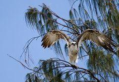 Foxtrot Osprey you are cleared for take off @jpebennett  #Osprey #Wildlifephotography #MBKWildlifephotography