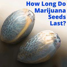 Weed Plants, Marijuana Plants, Cannabis Plant, Medicinal Plants, Growing Weed Indoors, Growing Greens, Growing Herbs, Hydroponic Grow Systems, Hydroponics
