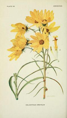 v.3 (1918) - Addisonia : - Biodiversity Heritage Library