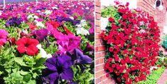 A petúnia gondozásáról tudhatsz meg most mindent, a petúnia nevelése, a petúnia igényei, a petúnia szakszerű gondozása, tudj meg mindent a petúniáról te is! Petunias, Marvel, Flowers, Plants, Plant, Royal Icing Flowers, Flower, Florals, Floral