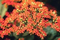 How to Care for Kalanchoe | eHow