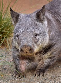 Wombat wishes: A Southern Hairy-Nosed Wombat keeps it real at Conrad Prebys Australian Outback at the San Diego Zoo. By Ion Moe. Cute Wombat, Baby Animals, Cute Animals, Australia Animals, Animals Of The World, Beautiful Creatures, Animal Photography, Pet Birds, Mammals