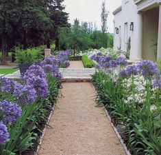 Agapanthus plants are perennial flowering plants. Agapanthus plants are known by different names, like African Lily, African Blue Lily and Lily of the Nile. Garden Edging, Garden Borders, Garden Paths, Edging Plants, Garden Beds, Back Gardens, Outdoor Gardens, Modern Gardens, Small Gardens