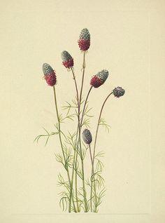 Prairie clover. Dalea purpurea. North American wild flowers, Walcott, Mary Vaux, vol. 4 (1925-1927).