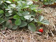 How to maintain a strawberry bed
