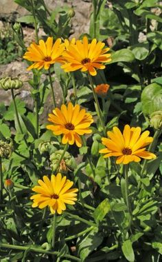 Hübsch, unkompliziert und zudem eine Heilpflanze – die Ringelblume