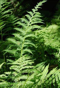 Athyrium filix-femina (lady fern or common lady-fern
