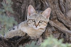 Baby African wild cat