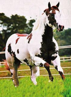 Horse Love the color Horses And Dogs, Cute Horses, Horse Love, Wild Horses, Caballos Appaloosa, Appaloosa Horses, Friesian, Most Beautiful Horses, All The Pretty Horses