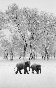 Elephants in the snow