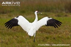 Whooping crane with wings outstretched