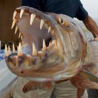 Imagine crossing a shark with a piranha. That's the goliath tigerfish. Observe the world's strongest (and meanest) freshwater fish on… African Tiger, Tiger Fish, Weird Sea Creatures, Beautiful Tropical Fish, River Monsters, Monster Fishing, Cool Fish, Jungle Animals, Freshwater Fish