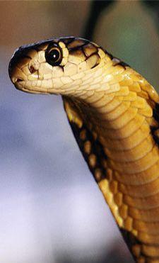 serpent sang froid