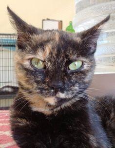 Available for adoption - Darla is a female cat, Domestic Short Hair, located at Santa Paula Animal Rescue Center in Santa Paula, CA.