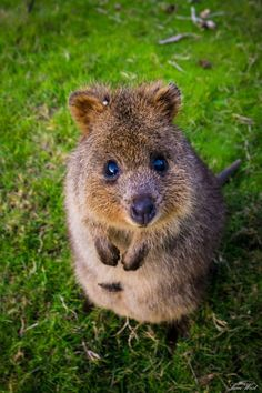 a quokka, never heard of it but it is so cute! Happy Animals, Animals And Pets, Funny Animals, Cute Animals, Cute Creatures, Beautiful Creatures, Animals Beautiful, Animals Starting With Q, Australian Animals