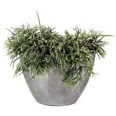 Erythrorhipsalis PILOCARPA (Эритрорипсалис) - Интернет-магазин - Адениум дома: от семян до растений. Выращивание и уход.