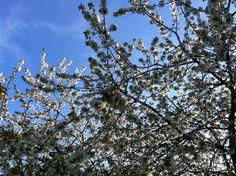 Plommetre i blomst