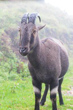 Nilgiri tahr Rajamala Wildlife Sanctuary, Eravikulam National Park, #Kerala Animals And Pets, Cute Animals, Ooty, Munnar, Honeymoon Packages, Coimbatore, Mysore, Car Rental, Taxi