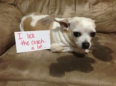 """""""I lick the couch A LOT."""" Dog Shaming shame - couch licker"""