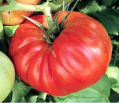 Tennessee State Fruit - Tomato