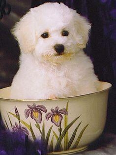 Dream puppy in a cup....