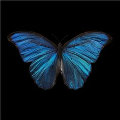 Morpho Amathonte, 2011 by Alexander James (b. 1967) Specialist's Notes: Everything Alexander James photographs, he has made himself. His images are lovingly and painstakingly created. In order to produce this image he trained as an entomologist, breeding thousands of butterflies . . .  His work does not use Photoshop, or any post-production doctoring; rather James photographs his subjects submerged in water to achieve a painterly affect.