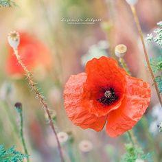 E Flowers, Poppies, Instagram Posts, Artist, Plants, Photography, Inspiration, Biblical Inspiration, Photograph