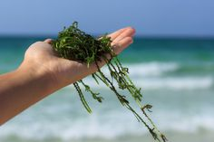 Grab a pack of nori snacks and listen up! Kelp isn't just an amazing health food; it's also good for your skin! Chemists first began researching the healing p