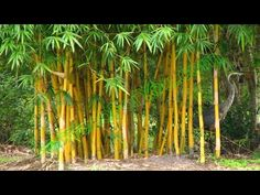 The bamboos are evergreen perennial flowering plants in the subfamily Bambusoideae of the grass family Poaceae. In bamboo, as in other grasses, the internoda. Garden Plants, Bamboo, World, Flowers, Youtube, The World, Royal Icing Flowers, Flower, Youtubers