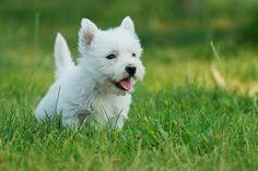 West Highland White Terrier Puppy Wallpaper