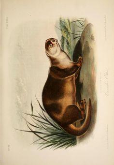 Otter. The quadrupeds of North America v.3  New York,V.G. Audubon,1851-54.  Biodiversitylibrary. Biodivlibrary. BHL. Biodiversity Heritage Library