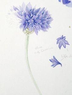 cornflower - Pesquisa Google