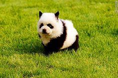 Dogs That Look Like Pandas