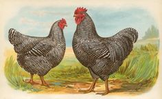new to site Barred Plymouth Rocks-L
