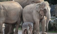 Rare Asian elephant born at Chester Zoo | World news | The Guardian - Keepers at the zoo said visitors would be able to see the new-born calf from Saturday. Photograph: Peter Byrne/PA